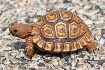 Leopard tortoise (Stigmochelys pardalis), Kgaswane Mountain Reserve, Rustenburg, North West