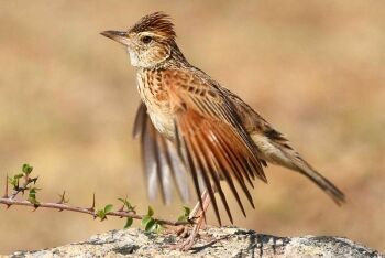 Rufous-naped Lark (Mirafra africana), Pilanesberg National Park, North West
