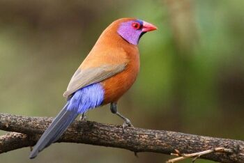 A male Violet-eared waxbill (Uraeginthus granatinus), Pilanesberg National Park, North West