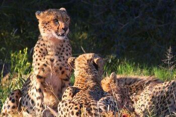 Cheetah (Acinonyx jubatus), Pilanesberg National Park, North West