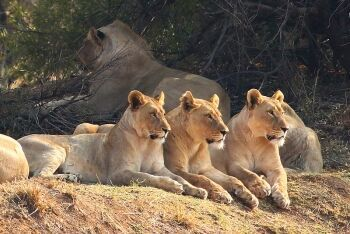 African lion pride, Pilanesberg National Park, North West