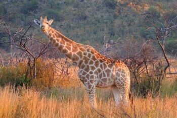 Female Giraffe, Pilanesberg National Park, North West