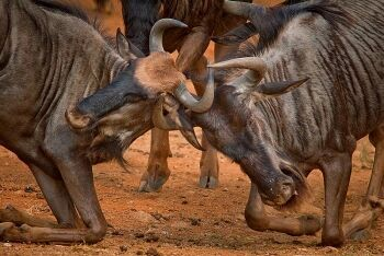 Blue wildebeest (Connochaetes taurinus), Pilanesberg Game Reserve, North West