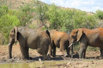 African bush elephant (Loxodonta africana), Pilanesberg National Park, North West