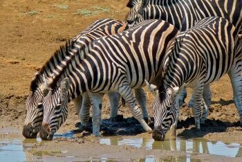 Burchell\'s Zebras (Equus quagga burchellii),  Ratlhogo Waterhole, Pilanesberg National Park, North West