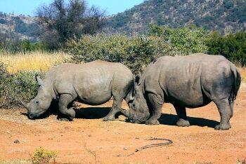 White Rhino, Pilanesberg National Park, Limpopo